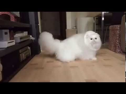 Thumbnail for Cat Video Fluffy White Cat Play time in Slow motion