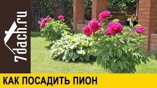 🌸 Как посадить пион - 7 дач