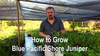 How to grow Blue Pacific Juniper (Shore Juniper) with detailed description