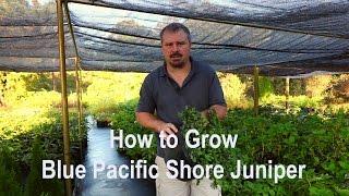 How to grow Blue Pacific Juniper (Shore Juniper) with detailed description