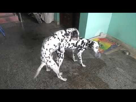 Two Cute Dalmatian Dog Love Making - Dalmatian Dog Breeding