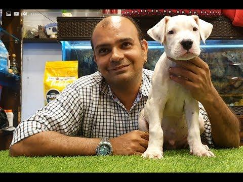 Can Dogo Argentino Be A Family Dog By Baadal Bhandaari Pathankot Punjab 9878474748 Youtube