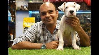 Can Dogo Argentino be a family dog? | By Baadal Bhandaari | Pathankot Punjab 9878474748