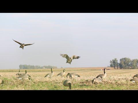 Wheat Field Geese- South Dakota Duck Opener