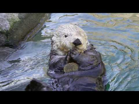 What Does A Sea Otter Eat?