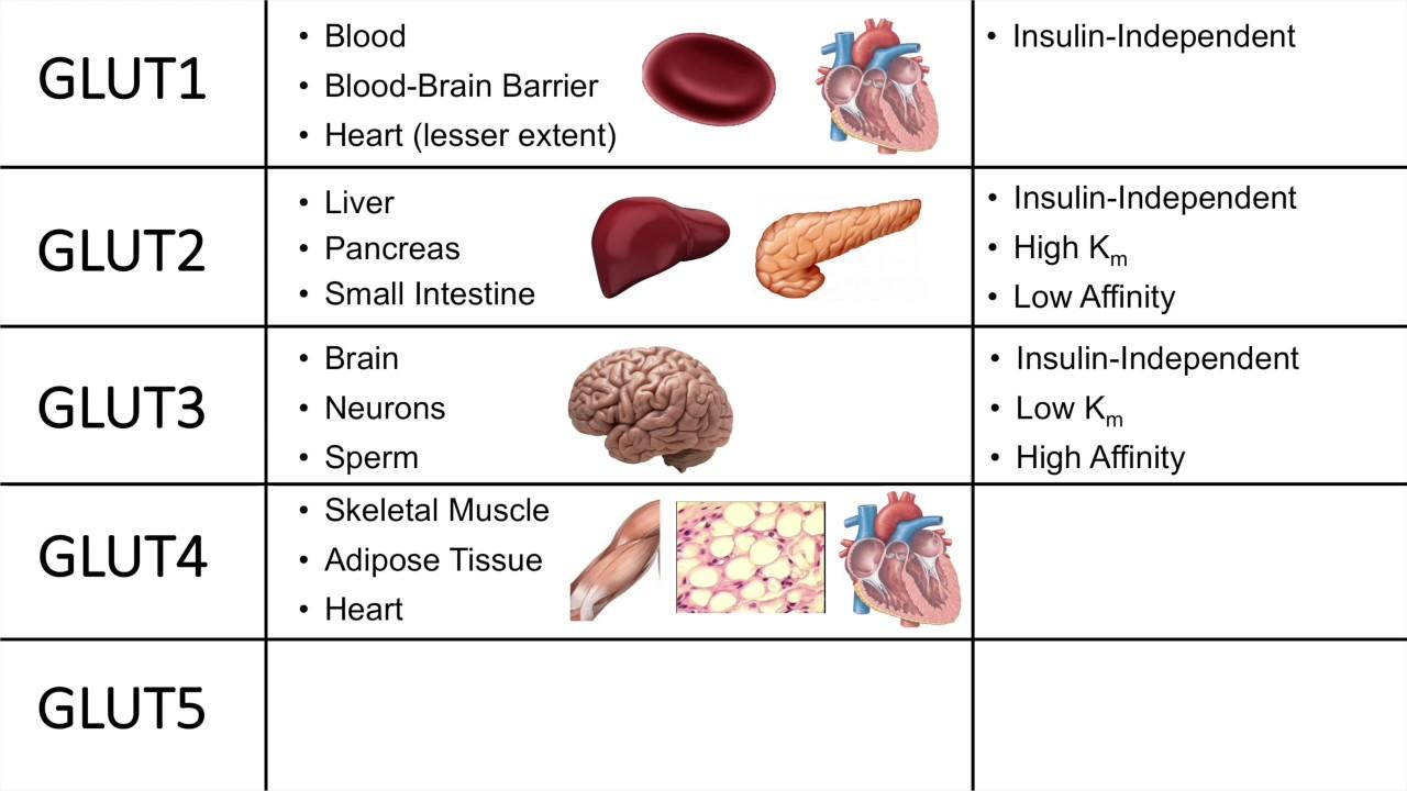 глюкозный транспортер глют 4