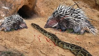 LIVE - Python vs Porcupine  Best of Porcupine save Lizard from King Cobra - Wild Discovery Animals