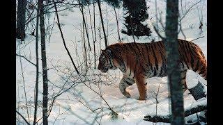 Тигрица Казачка меняет прописку на Красноярский край