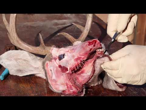 """HOW TO CLEAN A COUES DEER SKULL & HUNT """"GRAPHIC"""""""