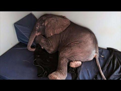 Брошенного стадом слоненка ждала печальная участь, но судьба распорядилась по-своему