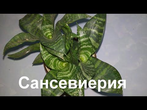 КОМНАТНЫЕ ЦВЕТЫ: КАЛАНХОЭ. Kalanchoe flower