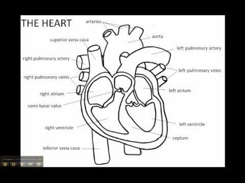 Structure Of The Human Heart Youtube