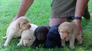 Labradors And Their Puppies.