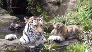 多摩動物公園のトラの3つ子の赤ちゃん ケイスケと母親のシズカです htt...