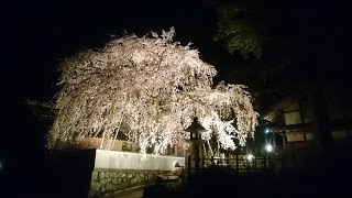 しだれ桜のライトアップ【桜堂薬師】