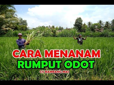 Cara Menanam Rumput Odot ( kebutuhan pakan ternak ) - YouTube
