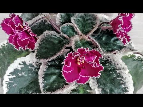 Цветут фиалочки ЛЕ- Полина Виардо! Делюсь красотой!!!