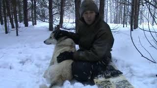 Любительская охота на соболя с лайкой 2019