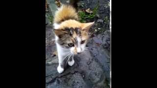 Кошки. Трехцветная кошка навестила меня на даче