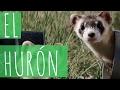 El hurón / Ferret - MuKi&Mu