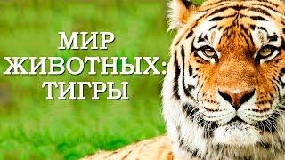 Мир Животных: Тигры