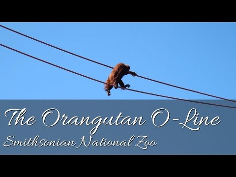 The Orangutan O-Line - Smithsonian National Zoo, Washington DC (HD)