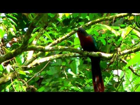 Malkoha, Chestnut-breasted - Phaenicophaeus curvirostris