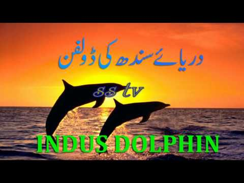 indus dolphin