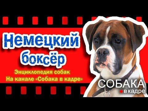 Немецкий боксер. Энциклопедия пород собак.