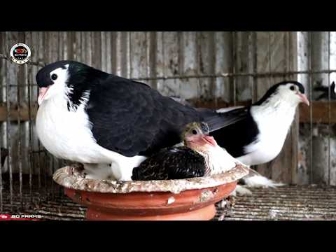 how to find good quality lahore siraji|| Lahore Pigeon|| Lahori Siraji Pigeons||