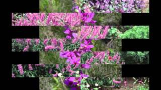 видео Дербенник: выращивание в саду и возле водоемов, уход, размножение