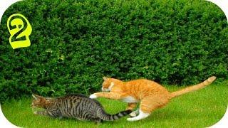 Смешные Кошки 2015 (#2)/ Веселая Видео Подборка / Смешные Животные 2015/