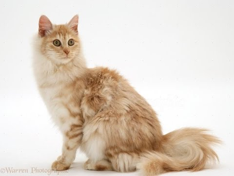 Everything You Must Know Before Adopting a Turkish Angora | Turkish Angora Cat Breed