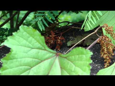 Medicinal Plant for Cervical intraepithelial neoplasia- Pankaj Oudhia