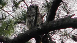 Barred owls laughing thumbnail