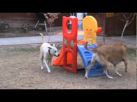 dog-chases-toy-tire