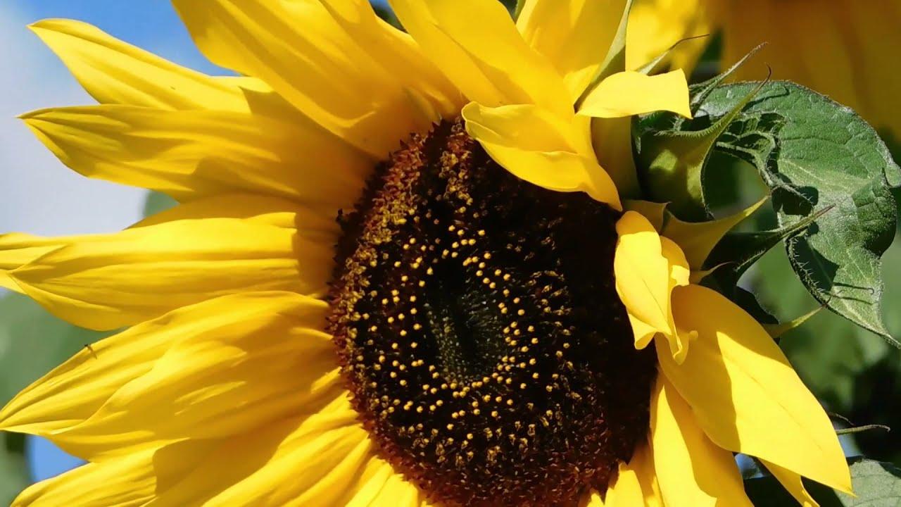 Sunflower How Beautiful is ?