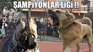 ŞAMPİYONLAR LİGİ BAŞLIYOR !! ( Kangal, Pitbull, Rottweiler, Dogo Argentino ) Strongest Dogs