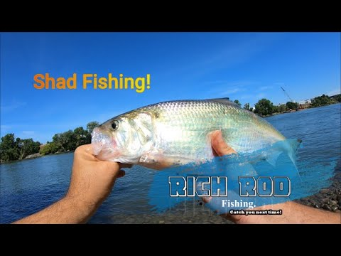 SHAD FISHING I CAUGHT THE BEST FISH OF THE DAY SACRAMENTO RIVER 2020