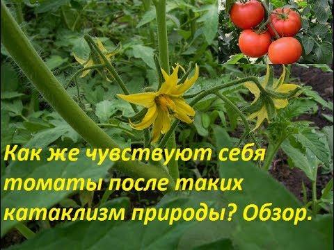 Как я восстановила подмерзшие томаты.Подвязка томатов и опыление простой метод