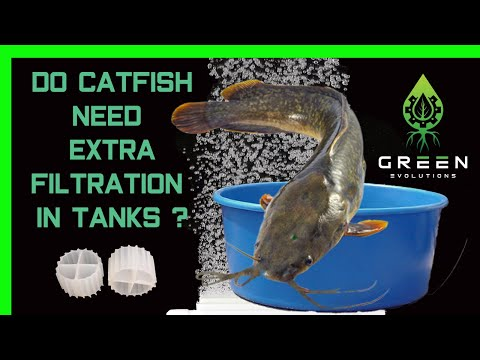 Starting the catfish (Clarias batrachus) commercial aquaponics farm