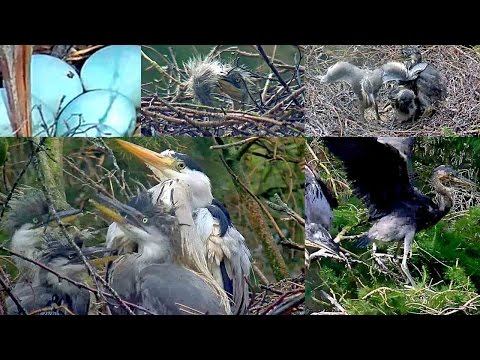 Grey Heron Season 2016