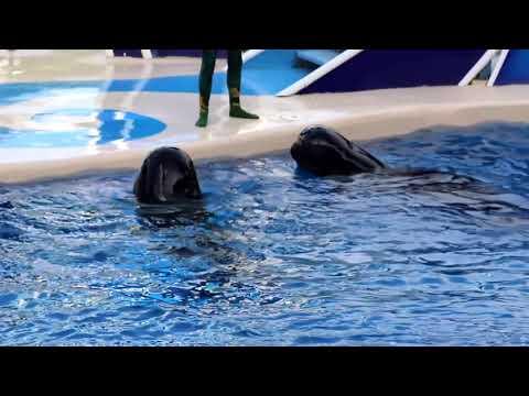Pilot whales Jumping At Seawolrd 2017 Amazing!