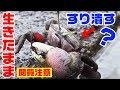 【閲覧注意】蟹を生きたままスリバチでゴリゴリして食べる