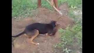 Foxhound Americano - Morena Maquina