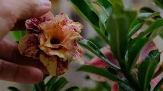 Mới mua được cây cam thảo - hoa đẹp mà lại có hương.