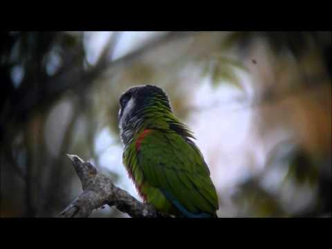 Gray-breasted Parakeet – Periquito cara-suja – Pyrrhura griseipectus