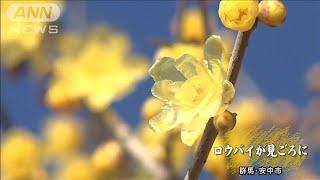 ロウバイの花が見頃 つややかな黄色が冬の空に(20/01/03)