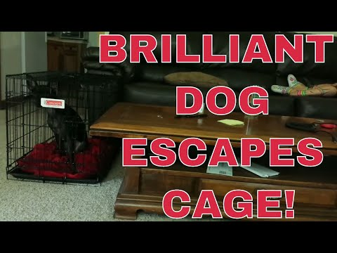 Genius dog escapes from cage
