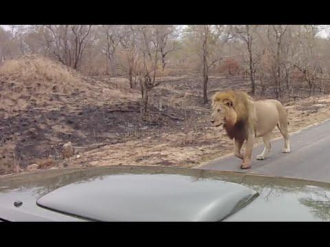 Massive Male Lions captured on Dash-cam in Kruger Park